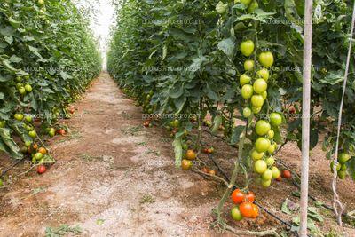 Tomates verdes en racimo