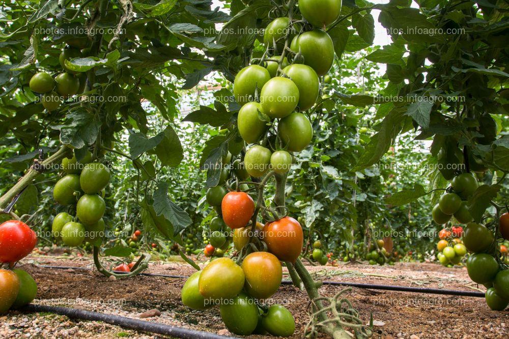 Frutos de tomate en planta