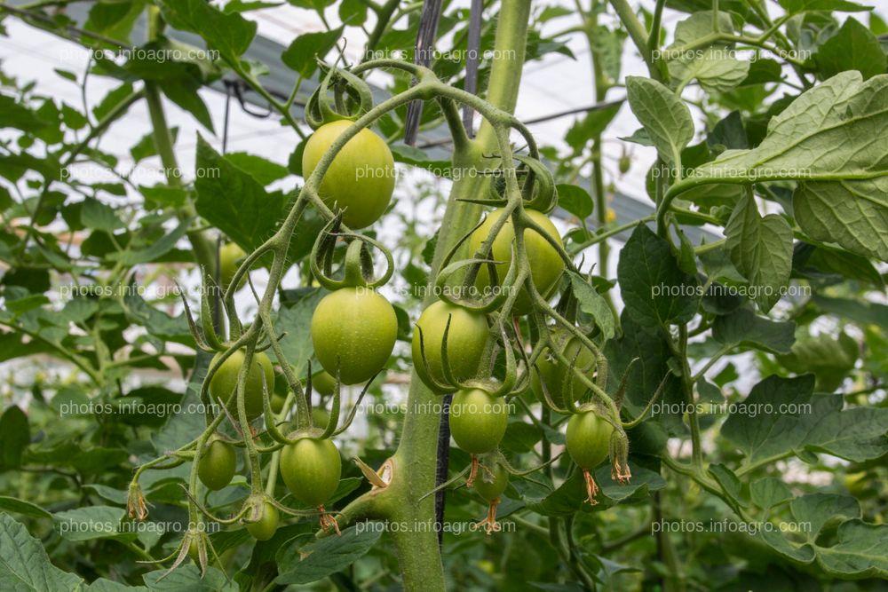 Desarrollo de tomate tipo pera