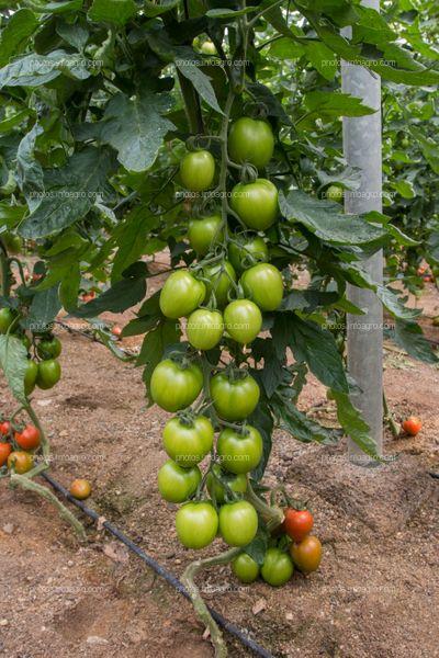 Frutos de tomate en invernadero