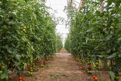 Pasillo de tomate