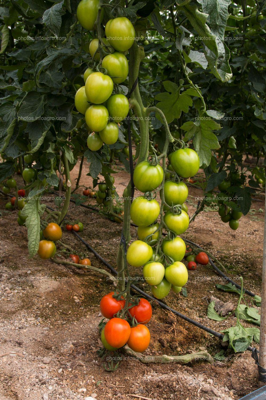 Frutos de tomate