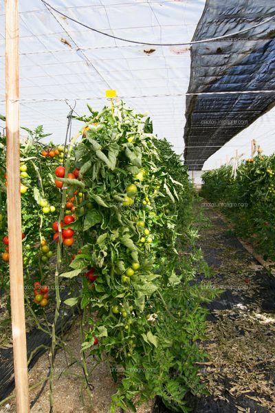 Malla de sombreo para tomate