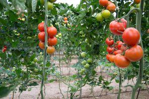 Frutos de tomate rojos