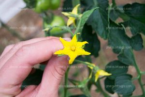 Flores de 5 sépalos masculinas