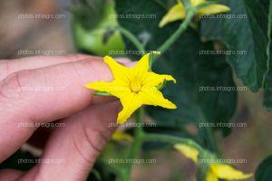 Inflorescencia masculina de tomate