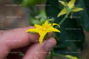 Flor macho de tomate