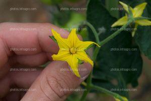 Flor masculina de jitomate
