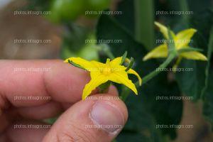 Inflorescencia masculina de jitomate