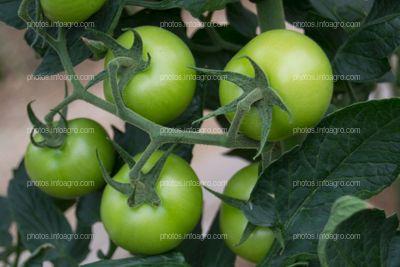 Frutos redondos de tomate