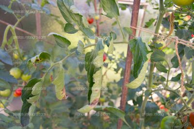 Hojas cerradas de tomate