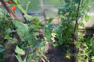 Planta de jitomate con sintomatología