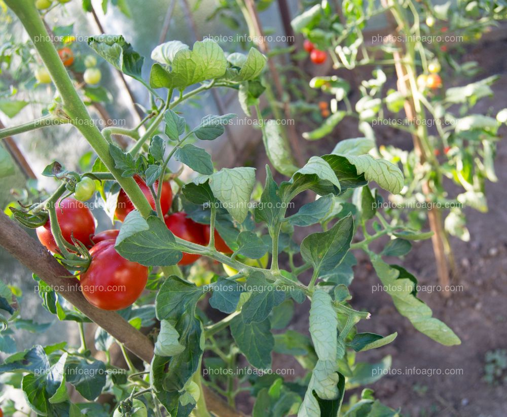 Hojas de tomate cerradas