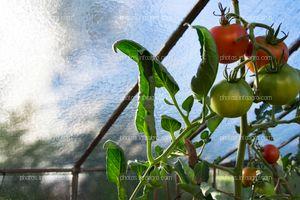 Tomate en invernadero