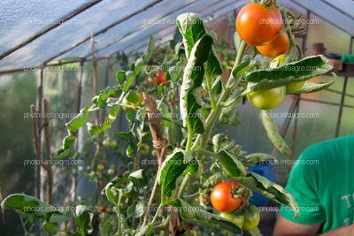 Sensibilidad a herbicida en tomate