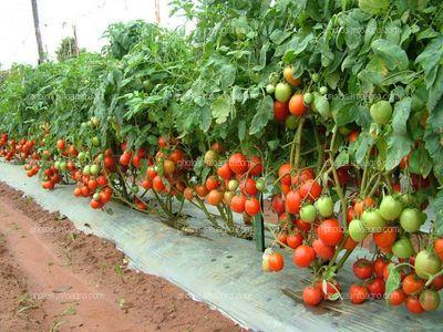 Encamado de tomate