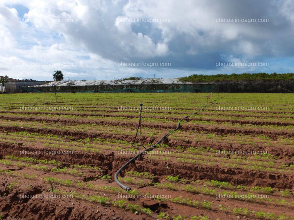 Campo cultivado de zanahorias