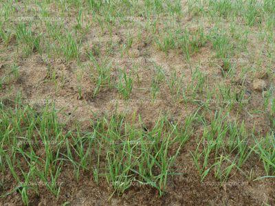 Plantas de trigo en campo