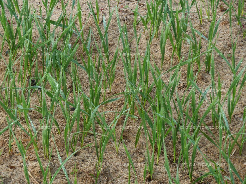 Crecimiento de trigo