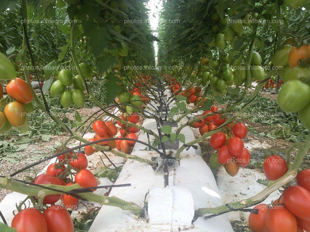 Cultivo de tomate hidropónico