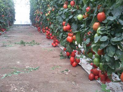 Invernadero con cultivo sin suelo