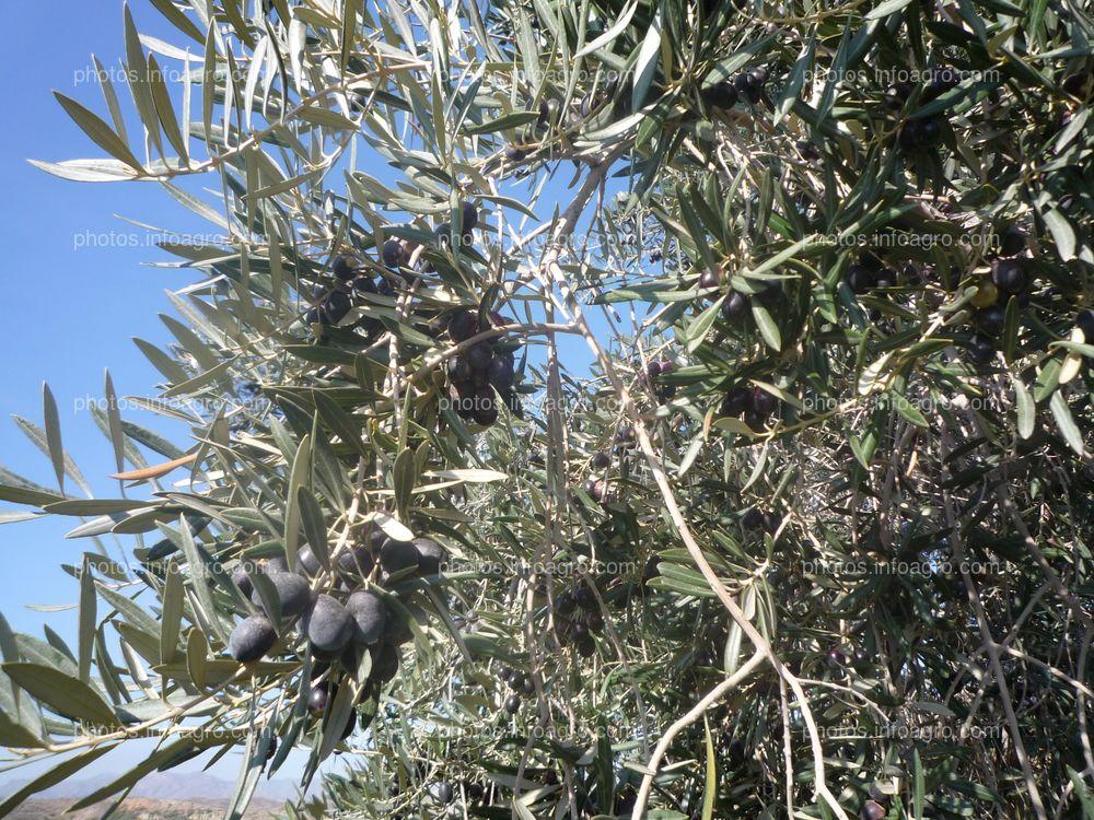 Desarrollo de frutos en olivar