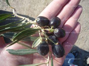 Aceitunas maduras en la mano