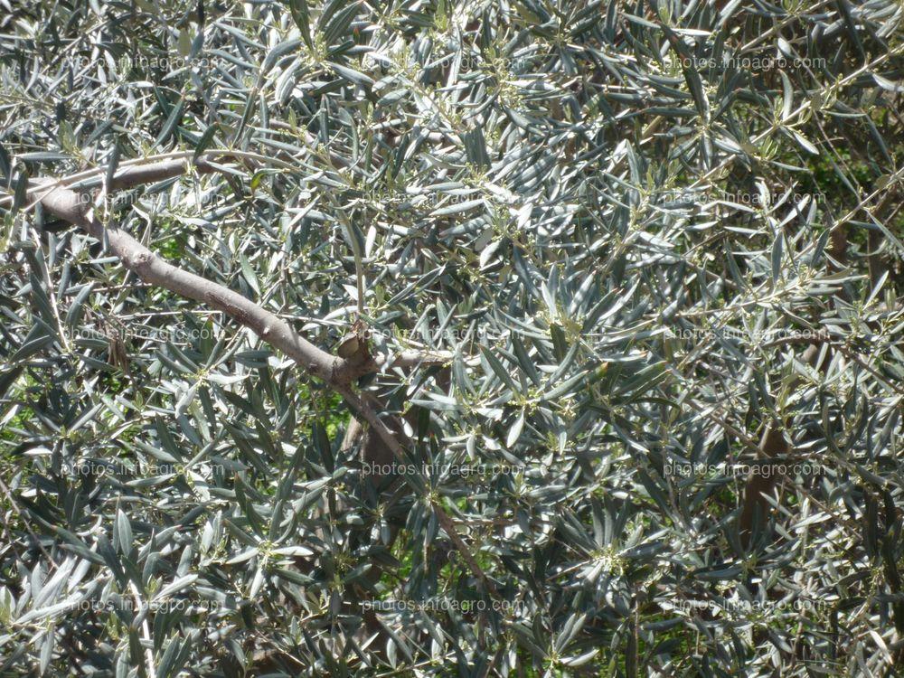 Ramas de olivar