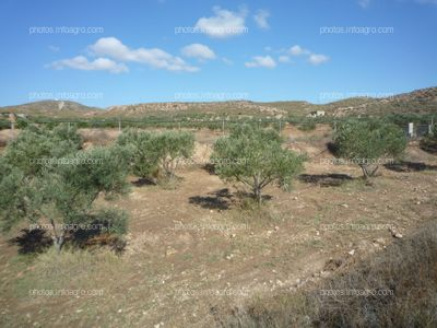 Olivos en campo abierto