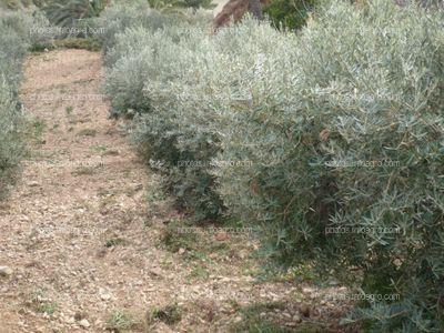 Distancia entre olivos