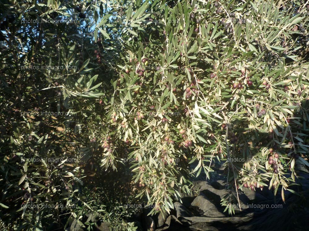 Envero de Olea europea L.