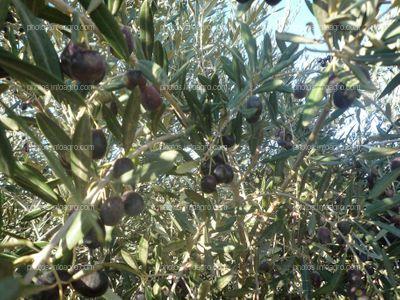 Aceitunas maduras en olivar