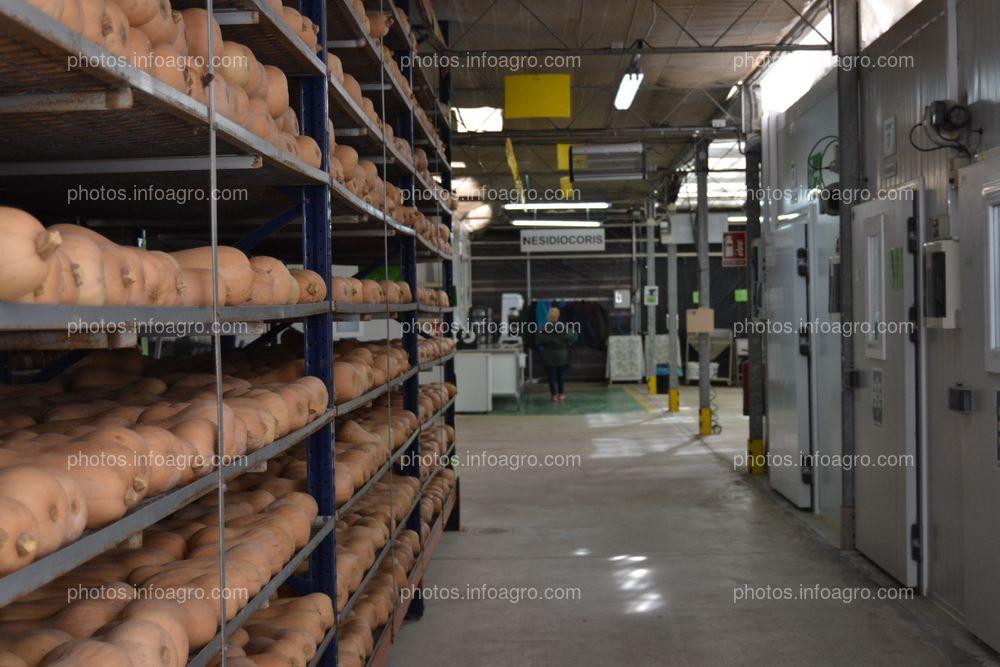 Zona del centro de producción de Koppert en Águilas donde se almacenan las calabazas que servirán de sustrato para la cría de enemigos naturales
