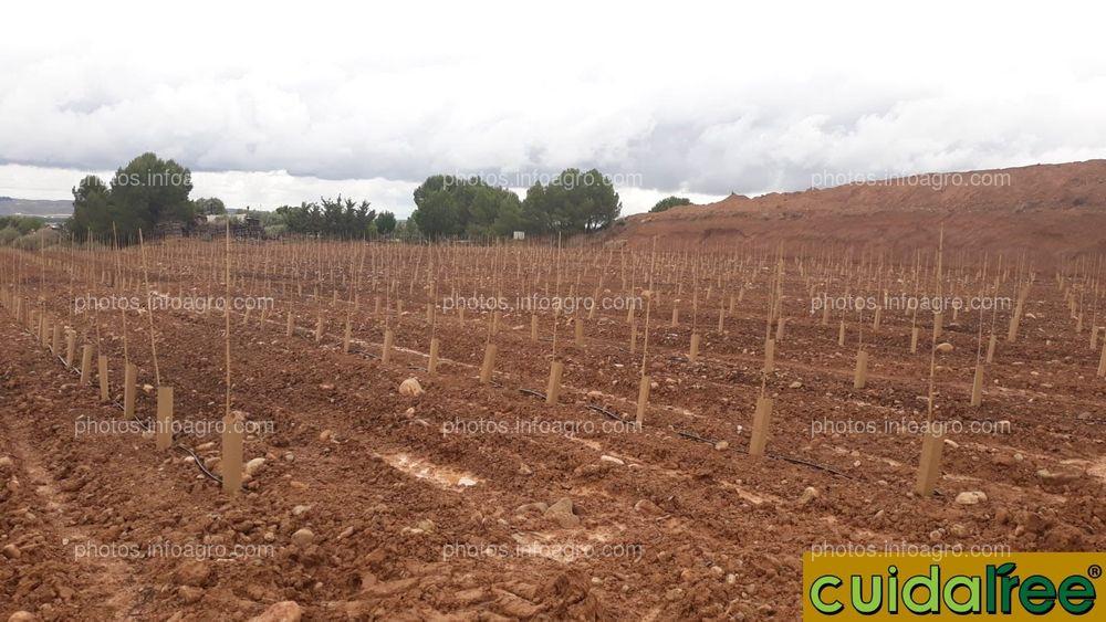 Plantación de oliveras protector 50x14