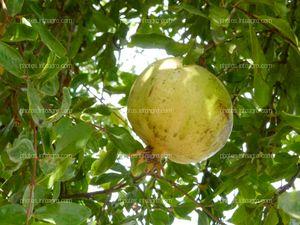 Fruto de granada inmaduro