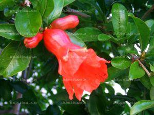 Flor de granada