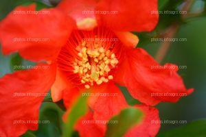 Flor de planta de granado