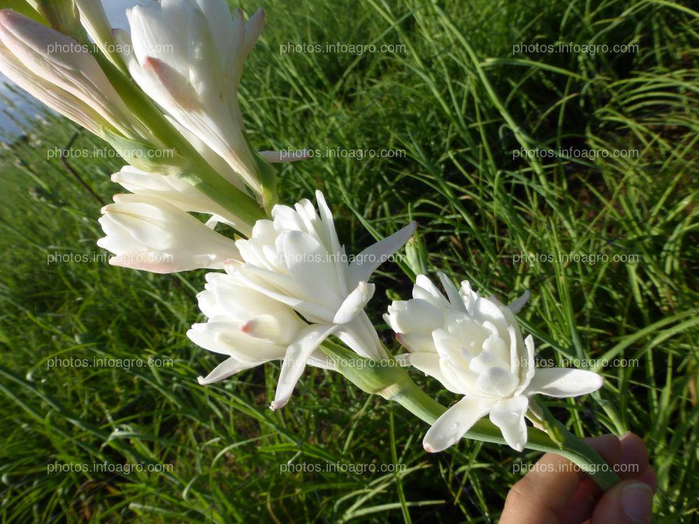 Espiga con flores de nardo