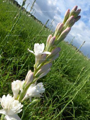 Flores de vara de San José