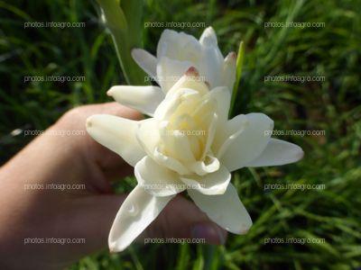 Flor de espinacardo