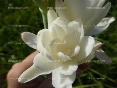 Flor de nardo en apertura