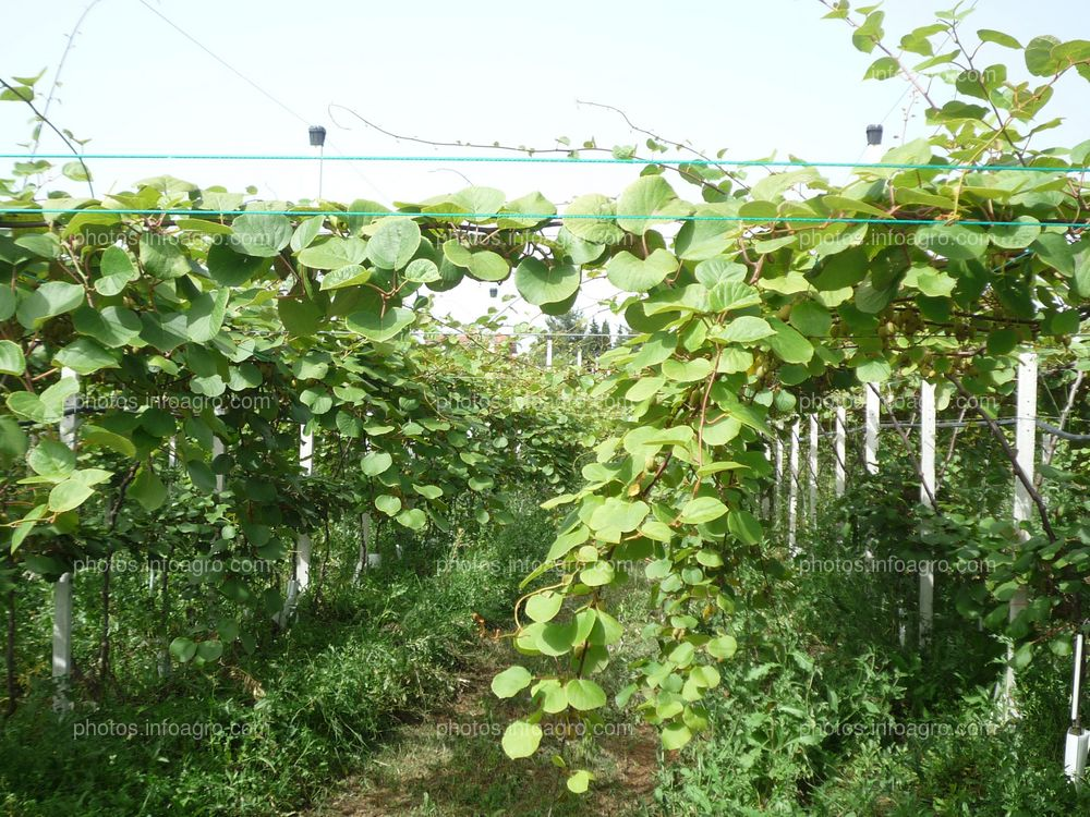Planta de kiwi