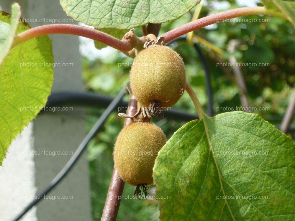 Frutos de kiwi