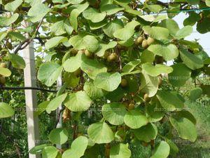 Hojas de kiwi