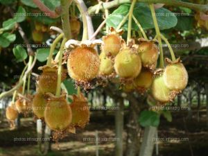 Frutos en planta kiwi