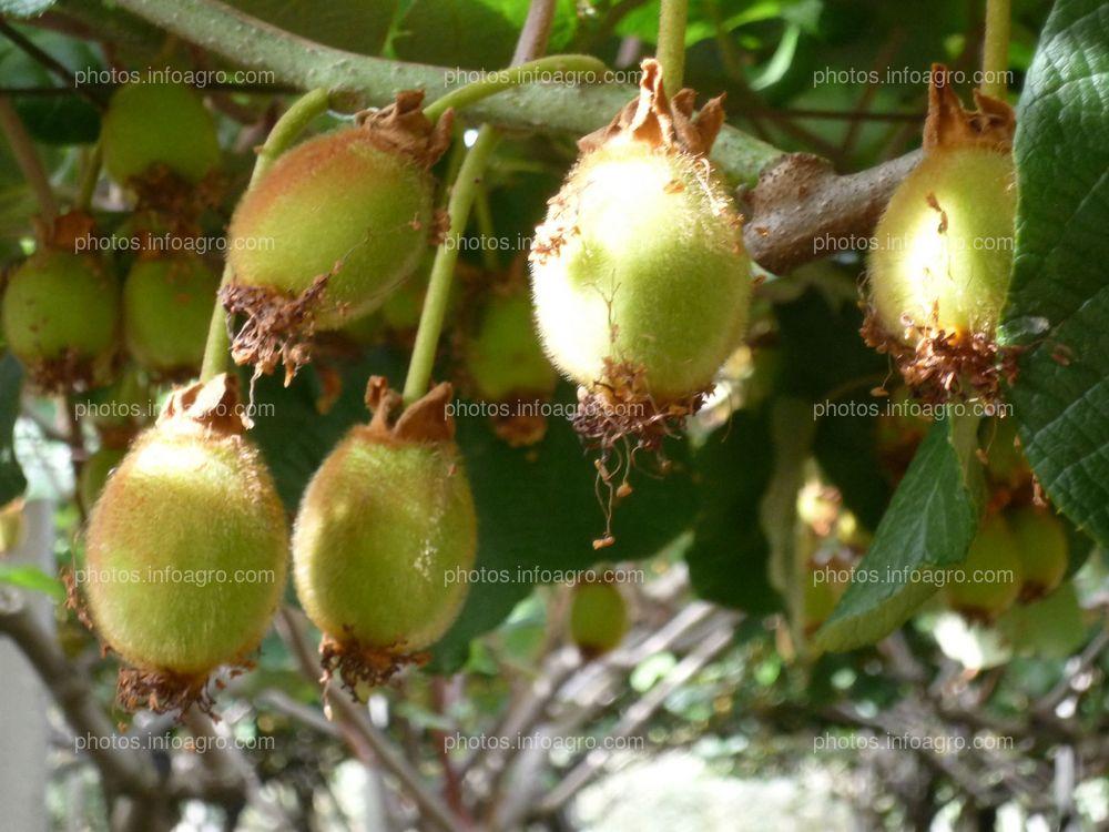 Desarrollo de kiwi