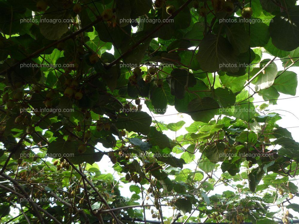 Ramas de kiwi