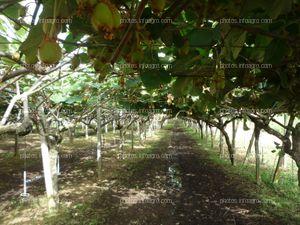 Plantas de kiwi en campo abierto