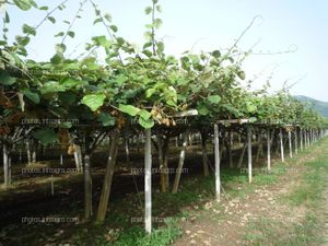 Marco de plantación de kiwi