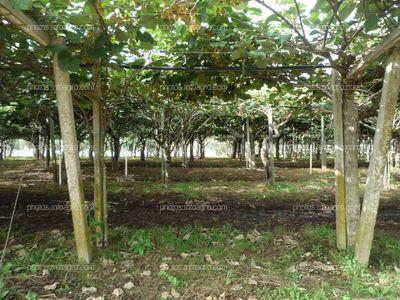 Pasillo de plantas de kiwi